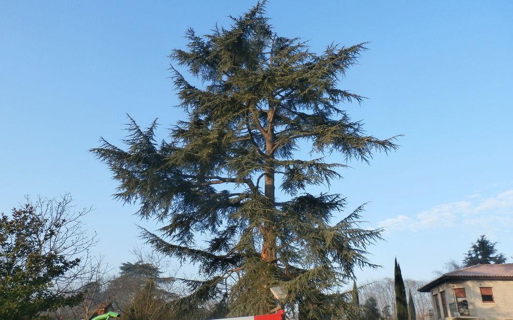 taille d'un cedre à St Prim (38)